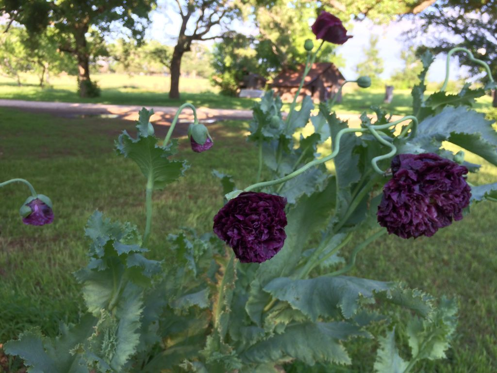 Black poppies blooming